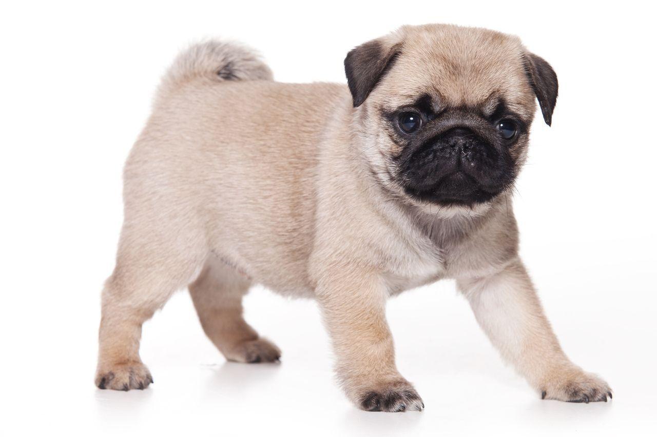 Cachorro da raça pug.