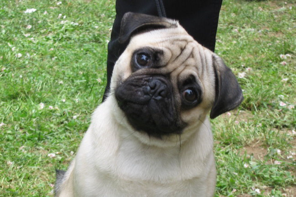 Pug Dog Hd Wallpapers_5