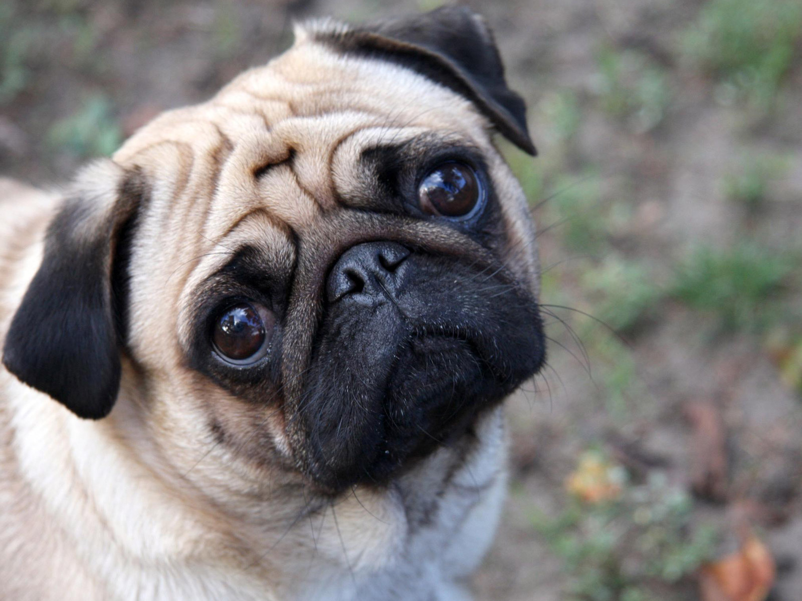 cachorro-pug-raca-10