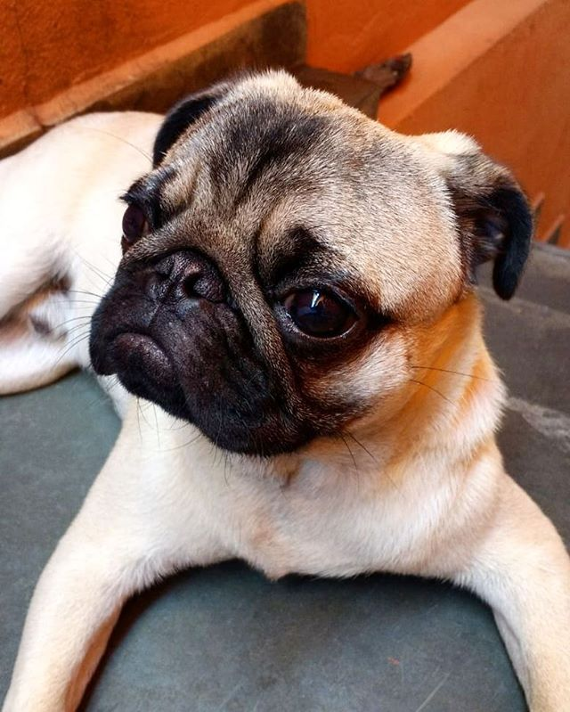cachorro-pug-raca-2