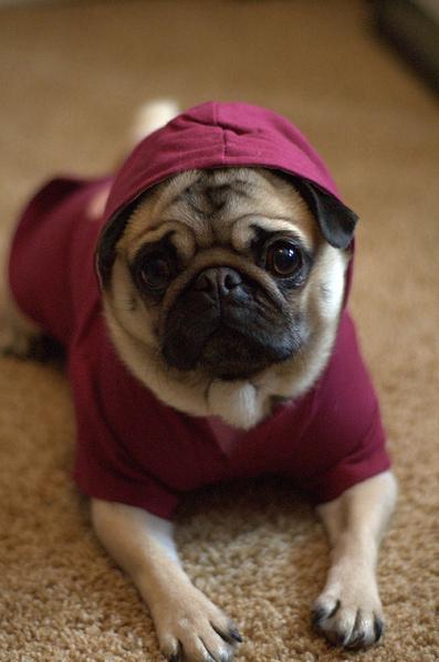 cachorro-pug-raca-8